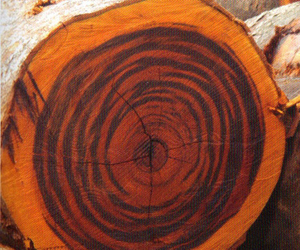 Tigerwood Tree